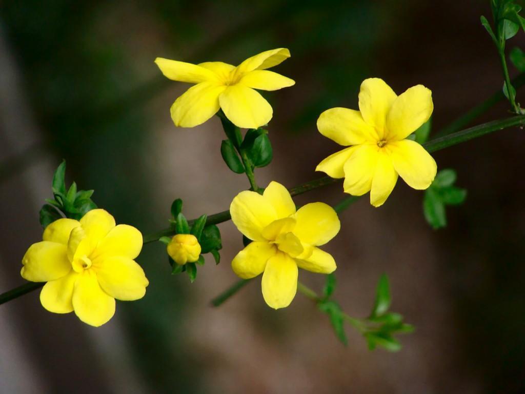 อิ๋งชุนฮวา(迎春花) หรือ Winter Jasmine ดอกไม้สีเหลืองที่ผลิบานในช่วงต้นฤดูใบไม้ผลิ